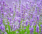 Ardor Aromatherapy Memory Foam Pillow - Lavender 4