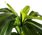 Artificial 58cm Potted Dracaena Janet Craig - Green 6